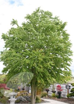Buy katsura tree Cercidiphyllum japonicum: Delivery by Crocus.co.uk Grows to 20m!!