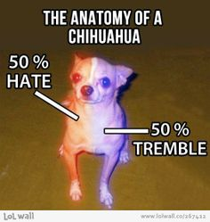 This is absolutely true, I think it's more like 70% hate 30% tremble:/:/:/: Yep, the one and only time in my long and varied life I've been torn up was by a chihuahua, bloody hand.
