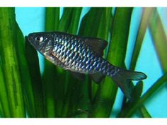 Puntius frazarii For Sale We supply all types of fish seeds.  For More Details: http://www.agribazaar.co/index.php?page=item&id=930  When you call, don't forget to mention that you found this ad on www.agribazaar.co