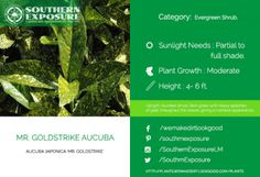 Mr.-Goldstrike-Aucuba golden green foliage with a marble like appearance
