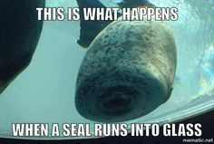 Just a seal. that ran into the glass. haha I laughed at this for way too long. Funny Animal Memes, Cute Funny Animals, Funny Animal Pictures, Funny Cute, The Funny, Funny Pics, Fail Pictures, Animal Jokes, Funny Images