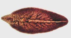 Fasciola Hepatica Adulto Liver Fluke, Bile Duct, Zoology, Water Plants, Cavities, Eating Raw, Sheep, Blog, Eggs