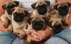 Sweet Puggies