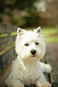 Westie on a bench. http://prettyinpic.com/tag/west-highland-terrier/