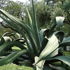 I can hear the Maguey bending