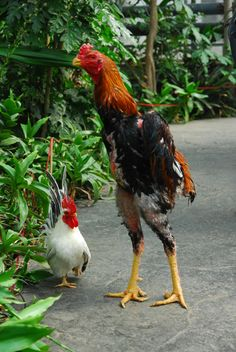 Agen Sabung Ayam Online - Clik Images for more information Rooster, Image, Roosters, Animales, Chicken