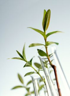 Plant biotechnology, image of plants in test tubes : Photo