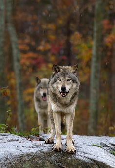 Double Trouble - Timber Wolves | da Jim Cumming