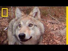Tout va bien à Tchernobyl... Du moins pour les bêtes | Post-Apocalypse Magazine