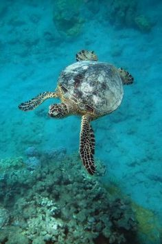 When it is time for her to lay eggs, a female green sea turtle will usually return to the same beach where she hatched, laying a clutch of 100 to 200 eggs in a depression dug in the sand with her flippers. She then covers it and returns to the sea, leaving the eggs to hatch after about two months. The most dangerous time of a green turtle's life is when it makes its first journey from nest to sea, as numerous predators, including huge flocks of seabirds, prey on the vulnerable hatchlings…