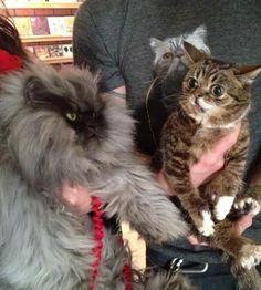 Lil Bub meets Colonel Meow - Imgur