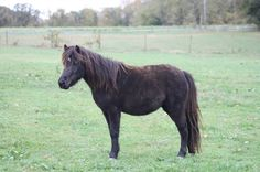 Silver Meadows Jets Midnit Madness  AMHR 2007 Model Mare  in Foal to McCarthys Hershey Swirl