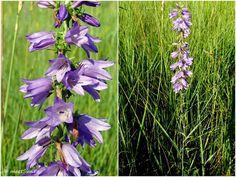 floare mov Centaur, Clematis, Indigo, Camping, Plant, Campsite, Indigo Dye, Campers, Tent Camping