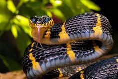 Mangrove Snake by Dmitry Volochai on 500px                        Stand Back !!!!