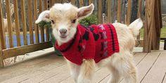 Meet The Inspiring Woman Who Quit Her Big City Job to Raise Baby Goats #goatsofanarchy