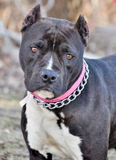 Meet Tiara a Petfinder adoptable Pit Bull Terrier Dog | Yakima, WA | Tiara is a 5 year old female Pit Bull Terrier mix. She was found in the Mabton area and brought to...