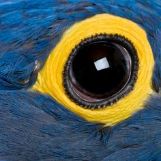 Hyacinth macaw eye close up