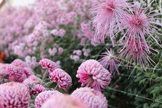 Chrysanthemums Norton Vic, Pink Splendor and Peter Magnus http://www.floretflowers.com/2013/11/chrysanthemums-rediscovered-2/