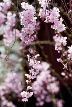 #cherry blossoms, #japan #sakura #spring