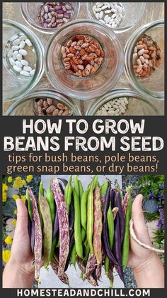 Beans are delicious, nutritious, and easy to grow! Come learn all about growing bush beans and pole Growing Bush Beans, Growing Green Beans, Frozen Green Beans, Green Bean Seeds, Bean Garden, Fruit Garden, Edible Garden, Garden Plants, Bean Varieties