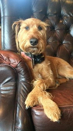 Kirby—Irish terrier Dog Photos, Dog Pictures, Irish Terrier, Airedale Terrier, Irish Wolfhound Dogs, Scottish Deerhound, Cute Funny Dogs, Dog Rules, Irish Setter