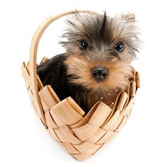 Artlist Collection THE DOG Yorkshire Terrier — Picnic Time.