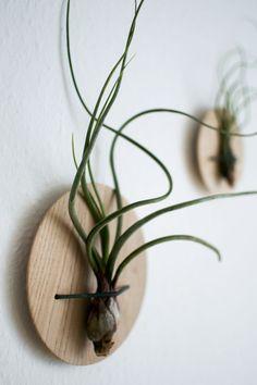 Decore sua casa com plantas aéreas, as famosas Tillandsias, da família das bromélias. São fáceis e cuidar e suas flores são magníficas.