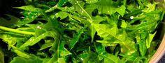 chaya hierba diabetes beneficios