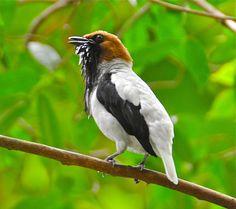 Bearded Bellbird by RE Houseman, via Flickr