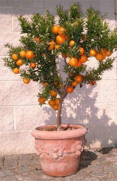 Chinotto, Mirtuszlevelű törpenarancs (koronás fa) < Tele illatos virágokkal! (Citrus aurantium var. myrtifolia): Citrusfélék | Ár: 12000.00 Ft