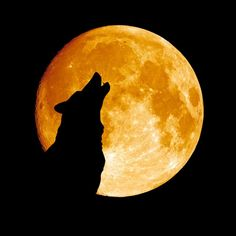 Find Wolf Howling Moon Midnigt stock images in HD and millions of other royalty-free stock photos, illustrations and vectors in the Shutterstock collection. Thousands of new, high-quality pictures added every day. Wolf Silhouette, Silhouette Painting, Wolf Howling At Moon, Wave Illustration, Yellow Moon, Halloween Silhouettes, Moon Photos, Images Photos, Howl At The Moon