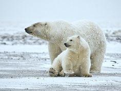 polar bear - http://en.wikipedia.org/wiki/Polar_bear