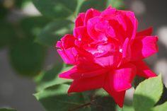JC Rose