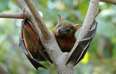 One in every five species of mammal is a bat. This incredibly successful group splits into two major camps. The so-called microbats include vampires, horseshoes and some 1,000 other species, all of...