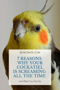 Your Cockatiel is screaming all the time? Let us help you with that! Here are 7 reasons why your cockatiel is screaming. Cockatiel Toys, Cockatiel Care, Parakeet Care, Budgies, Parrots, Pet Bird Cage, Bird Cages, Bird House Kits, Conure