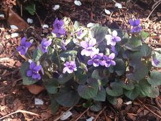 Spring Beauties.....Violets!