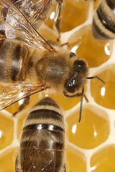 Honeybee hives have long provided humans with honey and beeswax. Top Bar Hive, Raising Bees, I Love Bees, Bee Do, Bees And Wasps, My Honey, Honey Bees, Manuka Honey, Bee Happy