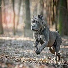 Cane Corso so beautiful Cane Corso Italian Mastiff, Cane Corso Mastiff, Cane Corso Dog, Cane Corso Puppies, Neo Mastiff, Huge Dogs, I Love Dogs, Cane Corso Kennel, Guard Dog Breeds
