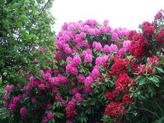 rhododendron facts, growing, care and tips