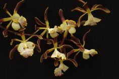 Rare-orchid-species-seedling-size-Encyclia-alata