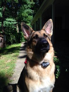 Handsome german shepherd:)