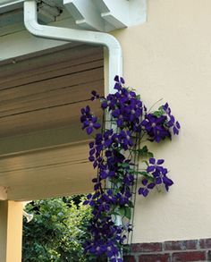 DOWNSPOUT COVER TRELLIS - Clothe your unsightly downspouts with beautiful flowering vines. Clematis look delightful on these trellises and will come back year after year. Moon vines, morning glories and Dutchman's Pipes work well too. KinsmanGarden.com