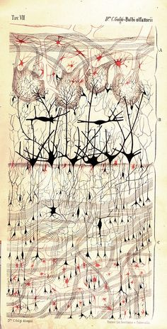 Cell and nerve structure illustrations by Santiago Ramón y Cajal. His original pioneering investigations of the microscopic structure of the brain have led him to be designated by many as the father of modern neuroscience. His medical artistry was legendary, and hundreds of his drawings illustrating the delicate arborizations of brain cells are still in use for educational and training purposes.