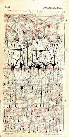 #cerebro manchas Santiago Ramon y Cajal