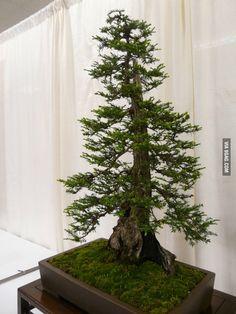 Bonsai Redwood / I want. This. So. Bad.