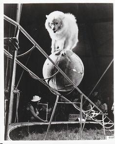 Circus dog, spitz, American eskimo