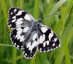 ~~Marbled White Butterfly Wharram Quarry by Jeff.S.Barker~~
