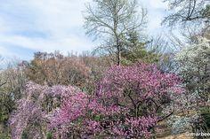 ハナモモ 桜と違う時期に咲けば主役になれる