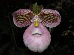 """Unidentified slipper orchid.   ("""" :) """")            (Pinned also to Nature - P&F-Flowers-Orchids....)"""