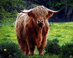 Celtic Zodiac Sign Meaning of Bull and Cow on Whats-Your-Sign Scottish Highland Cow, Highland Cattle, Scottish Highlands, Celtic Zodiac Signs, La Petite Taupe, Cow Facts, Highland Cow Canvas, Beautiful Scenery Pictures, Fluffy Cows